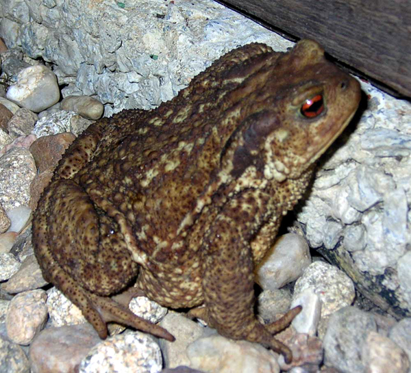common-toad-bufo-bufo-crapaud-commun-france